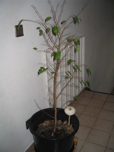 Les ficus perdent leurs feuilles le pouvoir des fleurs - Mon olivier perd ses feuilles ...