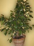 Ficus-benjamina_02