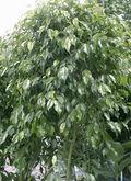 Ficus-benjamina_01