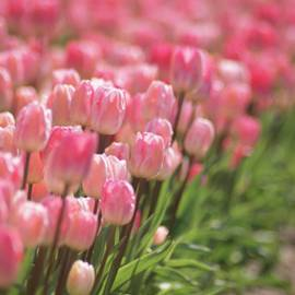 Tulipe Duc van Tol
