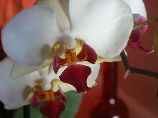 Orchidee-phalaenopsis_02