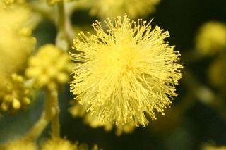 Mimosa boule