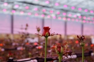 Roses-LEDs