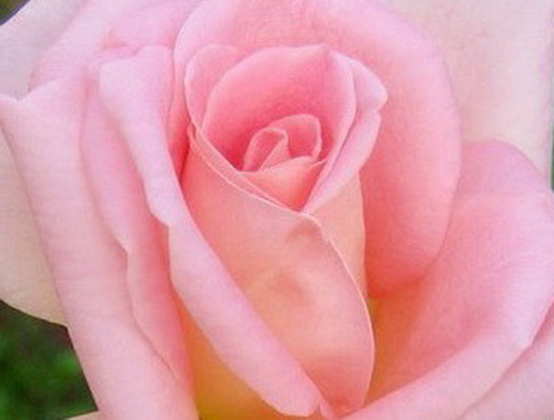 les roses et leur signification - le pouvoir des fleurs