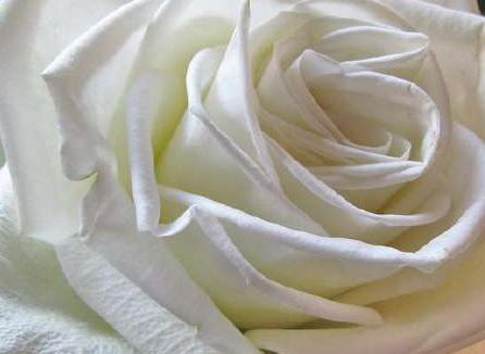 Les Roses Et Leur Signification Le Pouvoir Des Fleurs