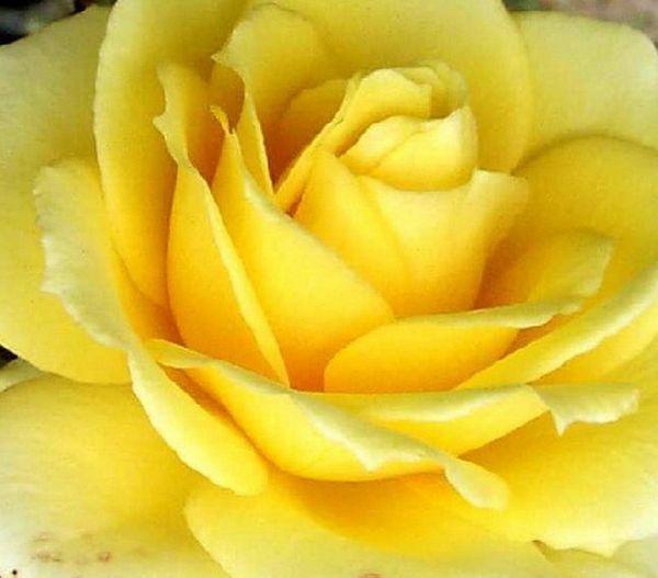 les roses et leur signification le pouvoir des fleurs. Black Bedroom Furniture Sets. Home Design Ideas