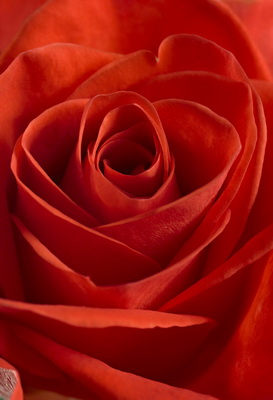 Rose-rouge_2