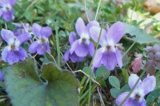 Violettes_02