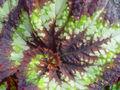 Begonia rex 2