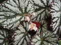 Begonia_rex-hyb