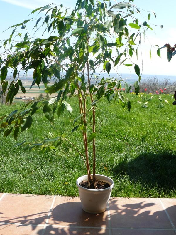 Ficus-avant