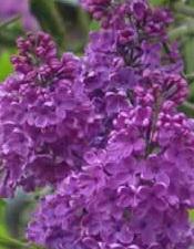 les petites musiques du lilas - le pouvoir des fleurs