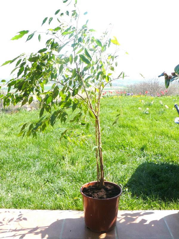 Ficus-5