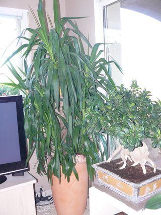 Yucca-ginseng