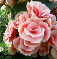 Begonia Hiemalis rose
