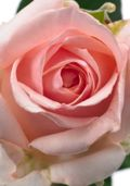 Rose-djoena_04