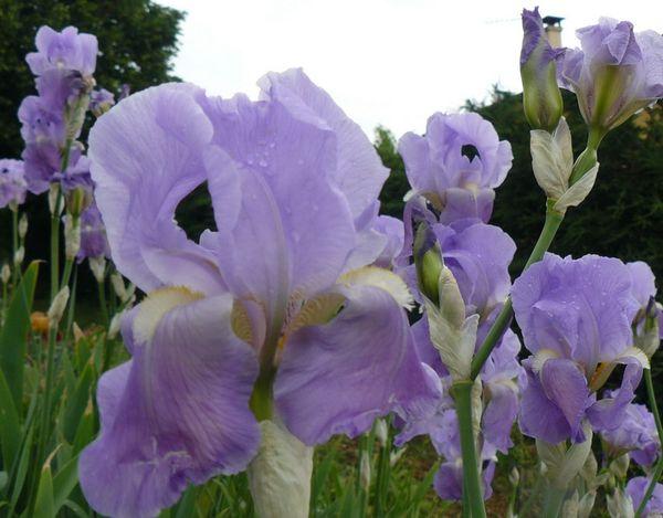 Les iris de mon jardin le pouvoir des fleurs - Comment passer en floraison ...
