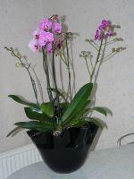 Phalaenopsis_coupe