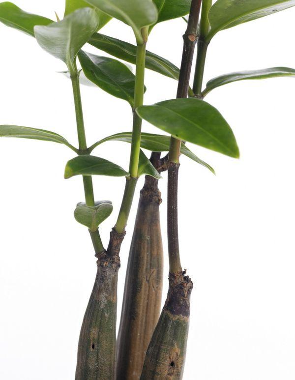 Une plante originale bruguiera sexangula le pouvoir des - Plante d appartement originale ...
