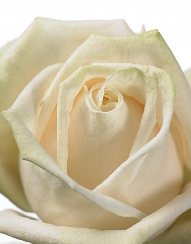Rose-contour