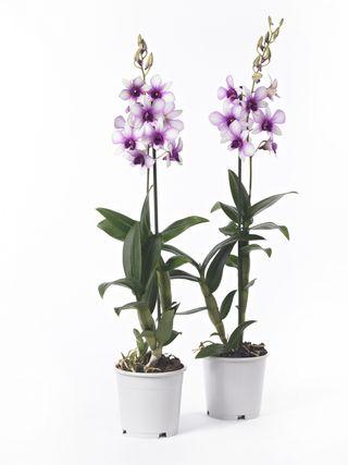 L 39 orchid e dendrobium le pouvoir des fleurs - Entretien de l orchidee ...