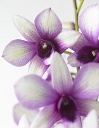 Dendrobium_polar_fire_01