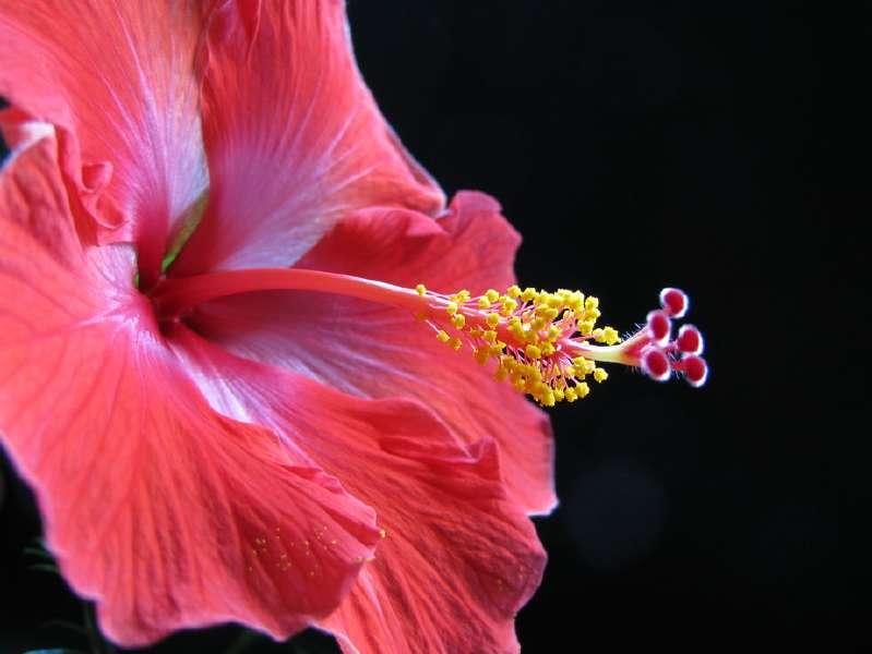 Hibiscus_01