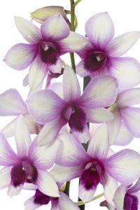 Dendrobium_polar_fire_02