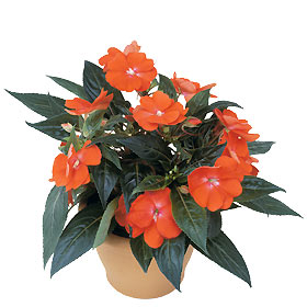 Interflora-impatiens