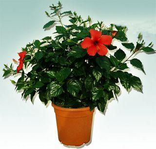 Hibiscus-pot