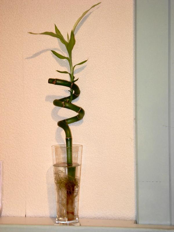 Lucky Bambou Ou Canne Chinoise Le Pouvoir Des Fleurs