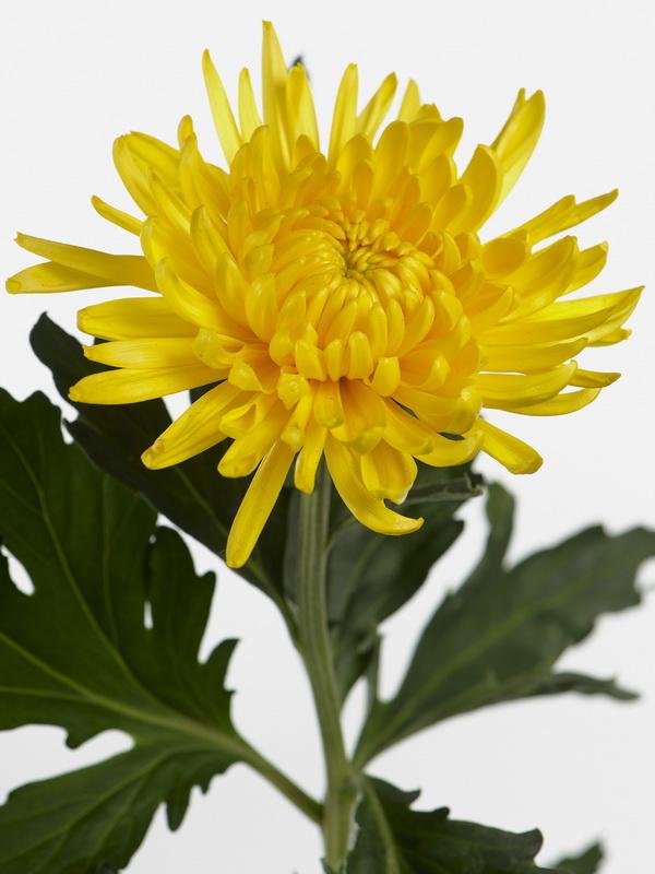 Un très beau chrysanthème - Le pouvoir des fleurs