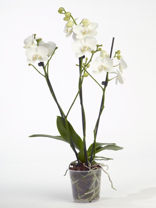une nouvelle orchid e phalaenopsis le pouvoir des fleurs. Black Bedroom Furniture Sets. Home Design Ideas