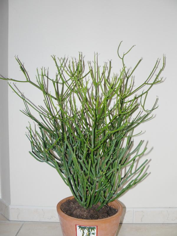une plante verte le tirucalli le pouvoir des fleurs. Black Bedroom Furniture Sets. Home Design Ideas