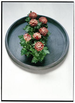 09sept_chrysanthemum