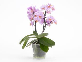 Phalaenopsis_santos_01
