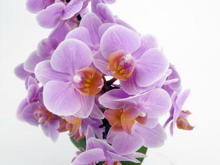 Phalaenopsis_santos_02