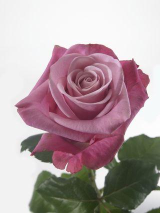 Rose_deep-water_01