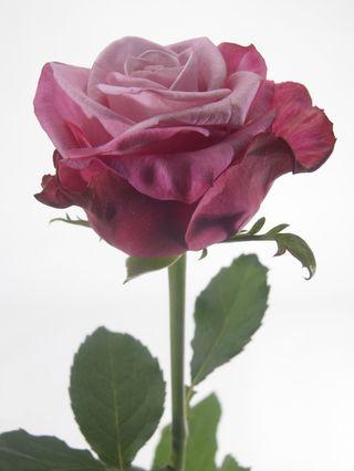 Rose_deep-water_02