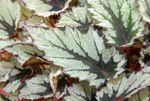 Begonia-Nordic_Glacier_groot