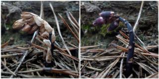 Plante-Cameleon-Monotropis-odorata_M-R-Klooster