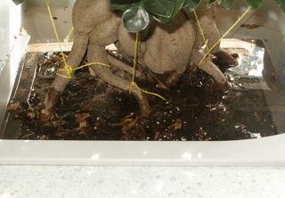Ficus dans eau