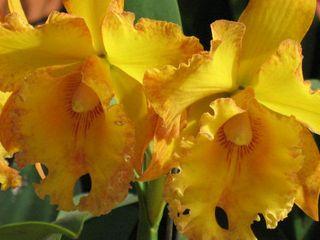 Cattleya jaune