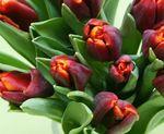 Tulipes 03