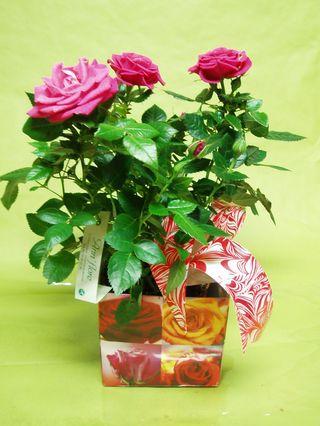 Mini-rosier