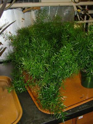 Asparagus-densiflora-Sprengeri
