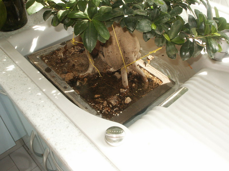 Ficus dans bain