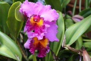 entretien de 39 orchid e cattleya le pouvoir des fleurs. Black Bedroom Furniture Sets. Home Design Ideas
