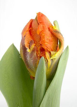 Tulipe-Irene-Parrot_01