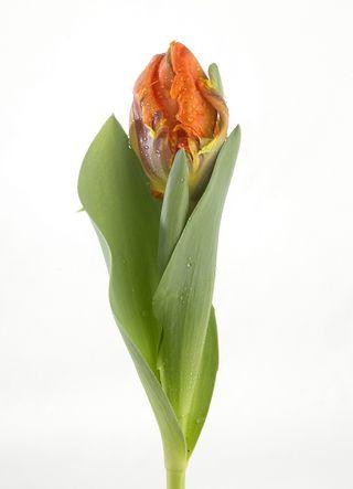 Tulipe-Irene-Parrot_02